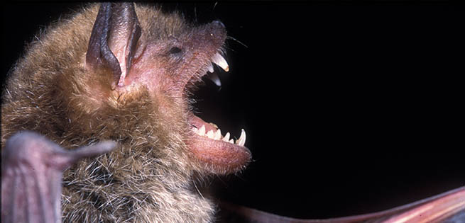 Bat White-nose Syndrome